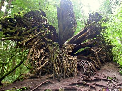 Rainforest-Regenwald-Douglas-Fir-Fichten-Mac-Millan-Provincial-Park-Cathedral-Grove-Vancouver-Island-BC-British-Columbia-Canada-Kanada-DSCN2971.jpg