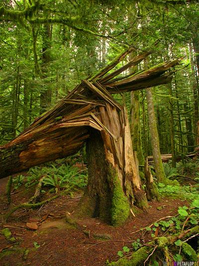 Rainforest-Regenwald-Douglas-Fir-Fichten-Mac-Millan-Provincial-Park-Cathedral-Grove-Vancouver-Island-BC-British-Columbia-Canada-Kanada-DSCN2989.jpg