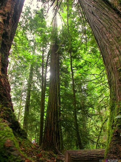 Rainforest-Regenwald-Douglas-Fir-Fichten-Mac-Millan-Provincial-Park-Cathedral-Grove-Vancouver-Island-BC-British-Columbia-Canada-Kanada-DSCN2999.jpg