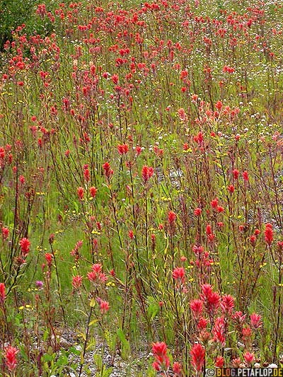 red-Flowers-rote-Blumen-Cassiar-British-Columbia-BC-Canada-Kanada-DSCN2324.jpg