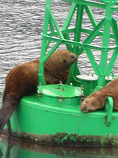 Seeloewen-Sea-Lions-Buoy-Boje-Stan-Stephens-Glacier-Cruise-Prince-William-Sound-Valdez-Alaska-USA-DSCN1805.jpg