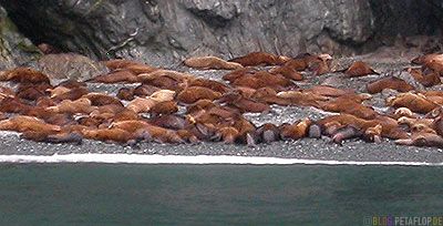 Seeloewen-Sea-Lions-Stan-Stephens-Glacier-Cruise-Prince-William-Sound-Valdez-Alaska-USA-DSCN1622.jpg