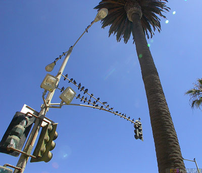 Birds-Traffic-Lights-Palms-Voegel-Ampel-Palmen-Santa-Monica-Los-Angeles-USA-DSCN5541.jpg