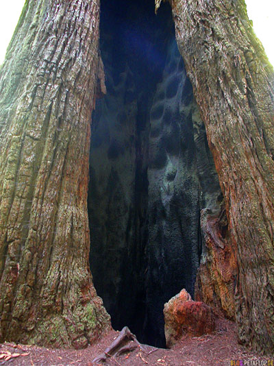 burnt-tree-by-lightning-stroke-verbrannter-Baum-Blitzschlag-Blitz-eingeschlagen-Redwoods-Redwood-National-Park-California-Kalifornien-USA-DSCN4214.jpg