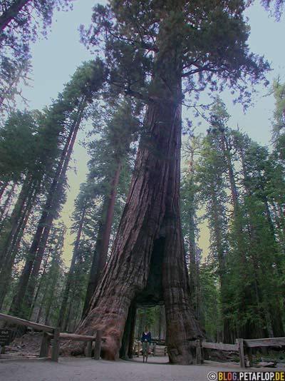 California-Tree-Durchfahrt-gate-hole-Loch-sequoia-redwood-redwoods-Mammutbaum-Mammutbaeume-Yosemite-National-Park-Nationalpark-California-Kalifornien-USA-DSCN5100.jpg