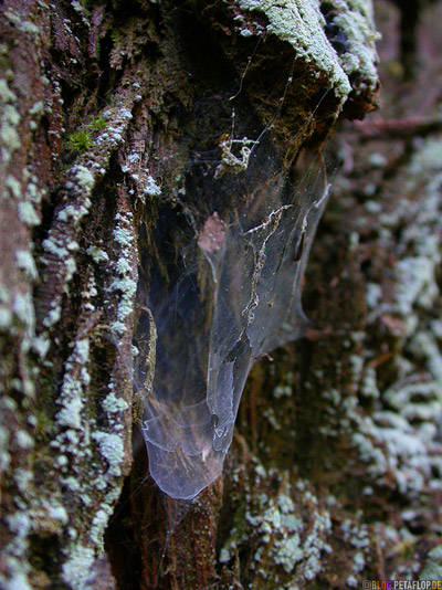cobwebbed-cobweb-spider-web-Spinnweben-Redwoods-Redwood-National-Park-California-Kalifornien-USA-DSCN4171.jpg