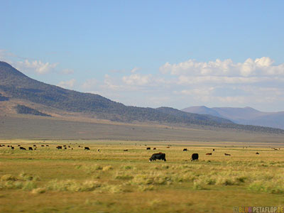 Cows-Cattle-Vieh-Rinder-Kuehe-Highway-395-Sierra-Nevada-California-USA-DSCN4852.jpg