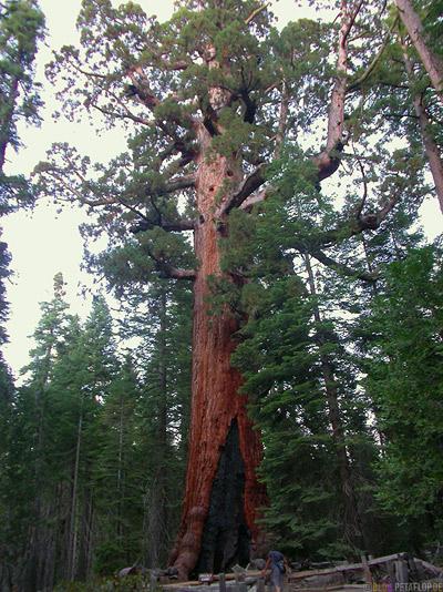 Grizzly-Giant-sequoia-redwood-redwoods-Mammutbaum-Mammutbaeume-Yosemite-National-Park-Nationalpark-California-Kalifornien-USA-DSCN5091.jpg
