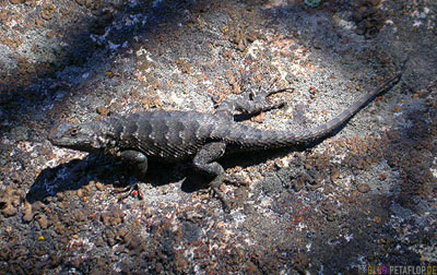 Lizard-Echse-Lake-Tahoe-California-USA-DSCN4788.jpg