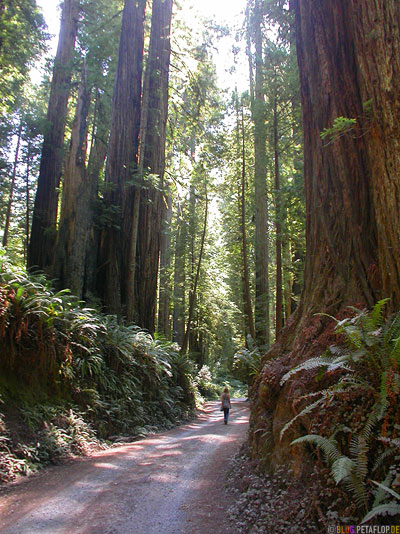 Redwoods-Redwood-National-Park-California-Kalifornien-USA-DSCN4212.jpg