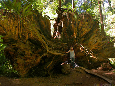 root-roots-Wurzel-Redwoods-Redwood-National-Park-California-Kalifornien-USA-DSCN4193.jpg