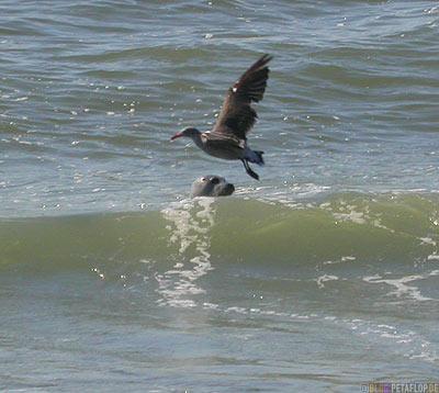 Seagull-Seal-sea-Pacific-Ocean-California-Coast-near-Trinidad-Kalifornien-Kueste-USA-DSCN4229.jpg
