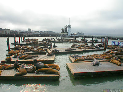 Sealions-Seeloewen-Pier-39-Fishermans-Wharf-SF-San-Francisco-California-Kalifornien-USA-DSCN5177.jpg
