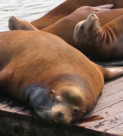 Sealions-Seeloewen-Pier-39-Fishermans-Wharf-SF-San-Francisco-California-Kalifornien-USA-DSCN5178.jpg