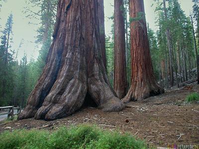 sequoia-redwood-redwoods-Mammutbaum-Mammutbaeume-Yosemite-National-Park-Nationalpark-California-Kalifornien-USA-DSCN5081.jpg