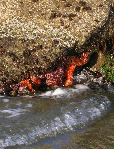 Starfishes-Seesterne-Beach-Strand-Oregon-Coast-near-Newport-Oregon-USA-DSCN3911.jpg