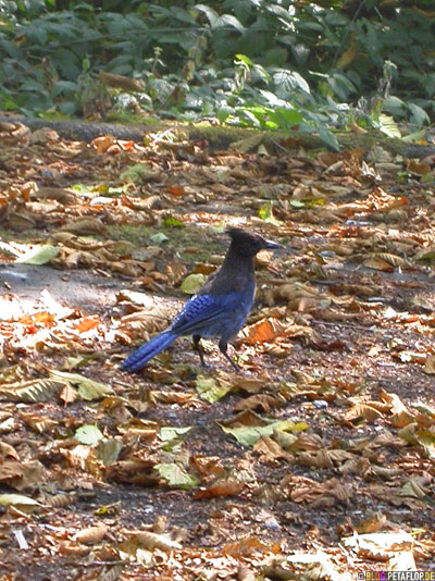 Stellers-Jay-blue-bird-Diademhaeher-Redwoods-Redwood-National-Park-California-Kalifornien-USA-DSCN4218.jpg