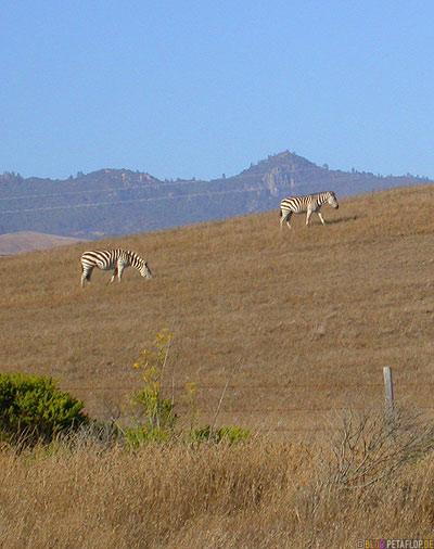 Zebras-Zebra-Highway-1-Coast-Ozean-Kueste-California-Kalifornien-USA-DSCN5389.jpg