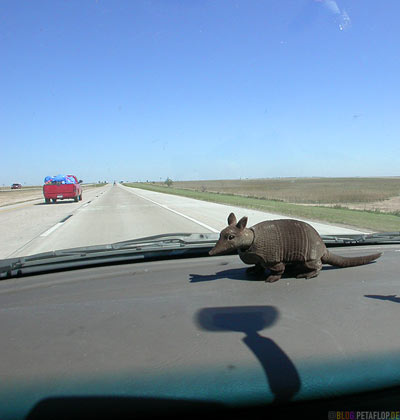 bobble-head-nodding-dog-Wackeldackel-Wackel-Guerteltier-Armadillo-Dashboard-Amarillo-Texas-USA-DSCN7321.jpg