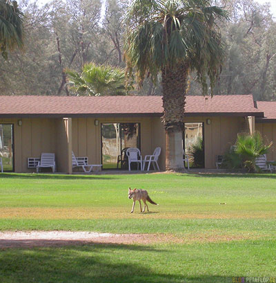 Coyote-Kojote-Palm-Palme-Furnace-Creek-Ranch-Death-Valley-California-Kalifornien-USA-DSCN5703.jpg