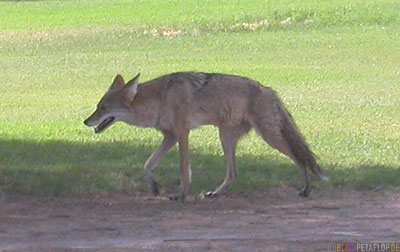 Coyote-Kojote-Palm-Palme-Furnace-Creek-Ranch-Death-Valley-California-Kalifornien-USA-DSCN5705.jpg