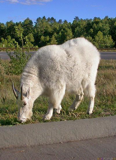 Mountain-Goat-Schneeziege-Mount-Rushmore-National-Memorial-Keystone-South-Dakota-USA-DSCN7187.jpg