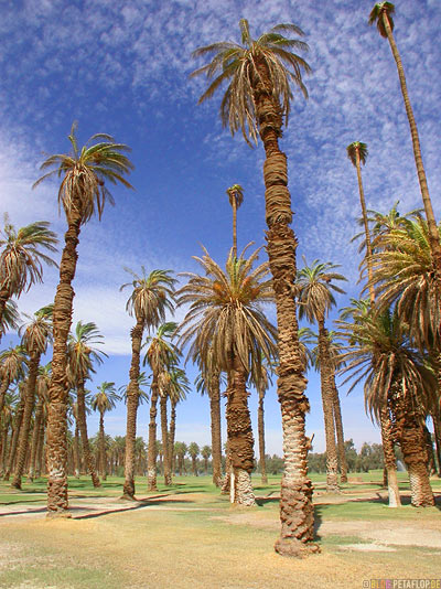 Palms-Palmen-Furnace-Creek-Ranch-Death-Valley-California-Kalifornien-USA-DSCN5689.jpg