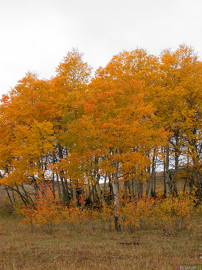 water-birch-trees-Birken-gleb-Herbst-herbstlich-fall-autumn-Bighorn-Mountains-Wyoming-USA-00336.jpg