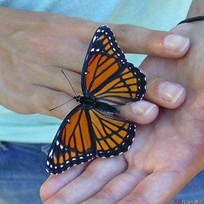 Monarch-butterfly- Schmetterling-Danaus-Plexippus-Monarchfalter-Classen-Drive-Oklahoma-City-OK-USA-DSCN7383.jpg