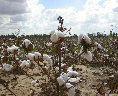 Cotton-Field-Baumwollfeld-Baumwolle-Arkansas-AR-USA-DSCN7739.jpg