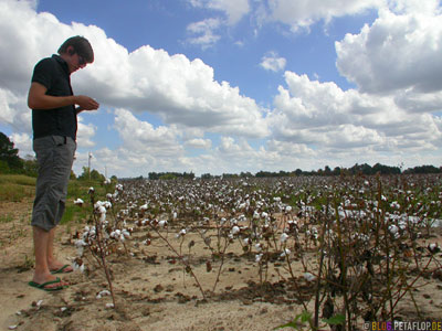 Cotton-Field-Baumwollfeld-Baumwolle-Arkansas-AR-USA-DSCN7745.jpg