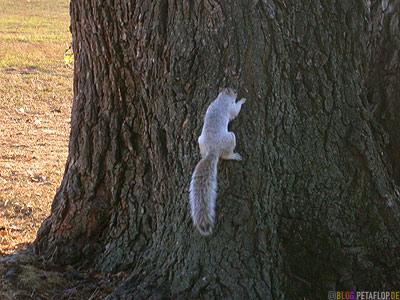 Squirrel-Eichhoernchen-Baum-Baumrinde-bark-Tree-National-Mall-Washington-DC-USA-DSCN8314.jpg