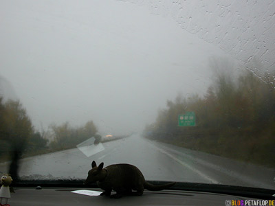 bobble-head-armadillo-View-out-of-our-car-on-the-rainy-road-from Burlington-Vermont-USA-to-Montreal-Quebec-Canada-DSCN8937.jpg