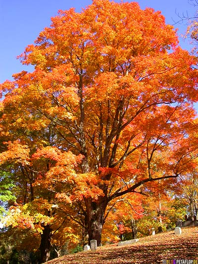 gelbes-Laub-Gravestones-Indian-Summer-Trees-Canton-Cemetary-Canton-MA-Massachusetts-DSCN8851.jpg