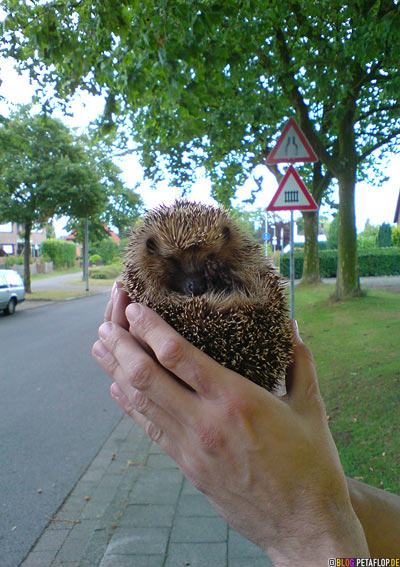 zusammengerollter-Igel-coiled-up-hedgehog-Kranenburg-Kleve-DSC00025.jpg