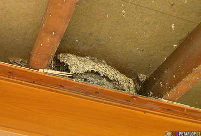 large-abandoned-wasps-nest-2-vespiary-found-while-insulating-verlassenes-Wespennest-Dachgebaelk-DSCN0678.jpg