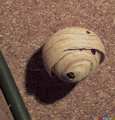 start-of-construction-of-a-new-wasps-nest-small-Baubeginn-eines-Wespennest-kleines-DSCN0732.jpg